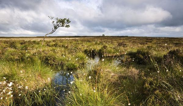 Beeley Moor Cotton Grass 5 - Beeley Moor