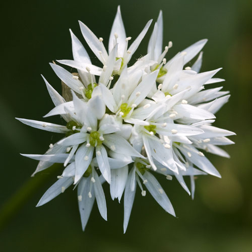 Ramson - Flowers