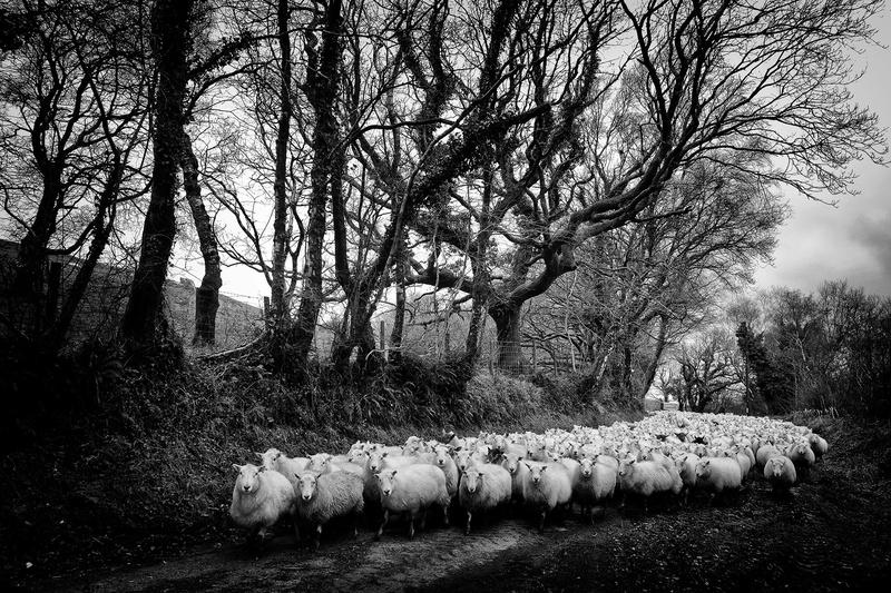 Sheep Brynberian - Black and White