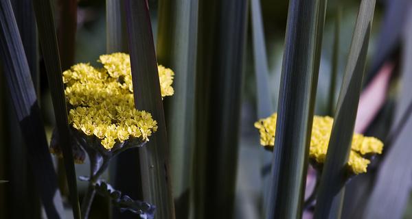 Alchemilla - Flowers
