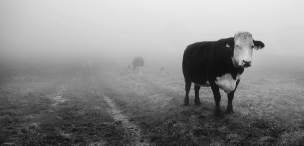 Cows in the mist 1 - Sheep  and other furry animals