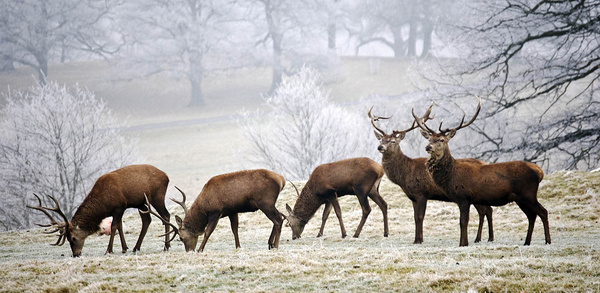 Stags - Sheep  and other furry animals