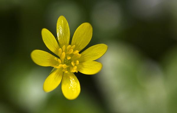 Cellandine - Flowers