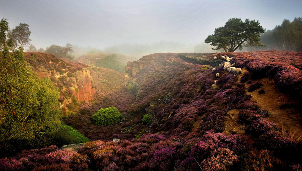 Stanton Moor Sheep at Sunrise - Stanton Moor Landscapes