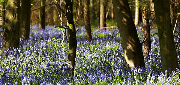 Bluebells - Rest Of Yorkshire