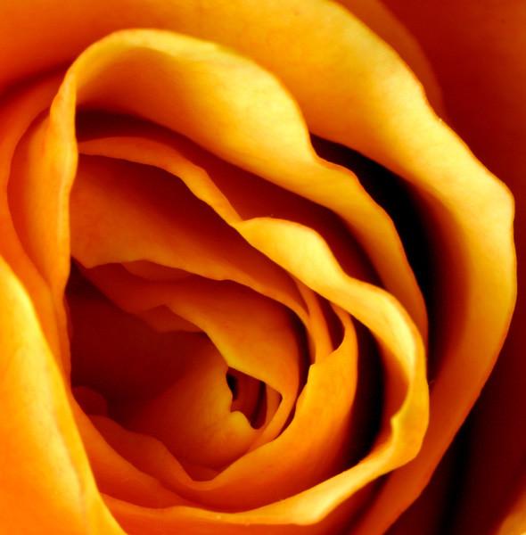 Golden Rose - Flowers