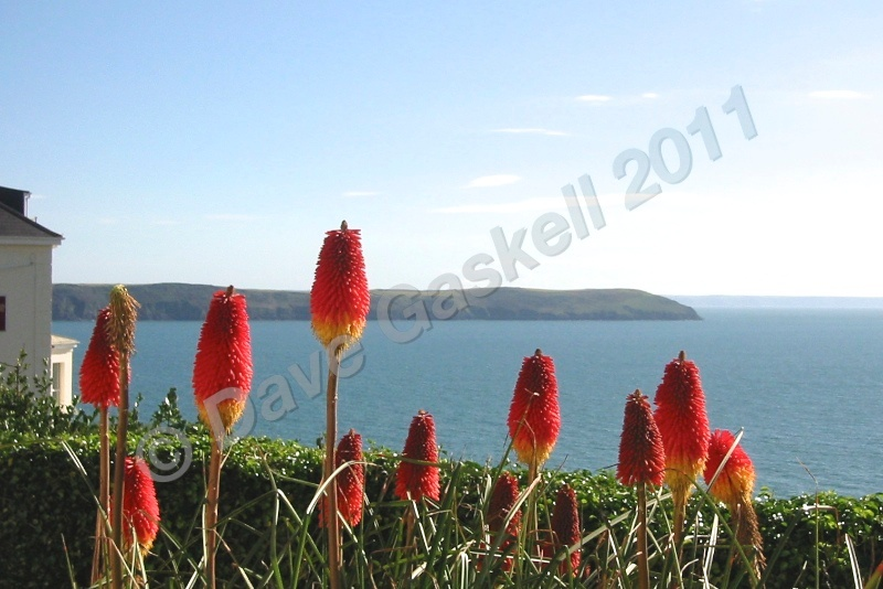Baggy Point red hot pokers IMG_1899 - Devon inc. Lundy Island