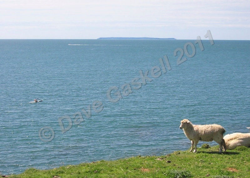Lundy Sheep  Canoe IMG_1833 1 - Devon inc. Lundy Island