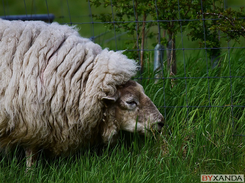 Sheep - Other Subjects