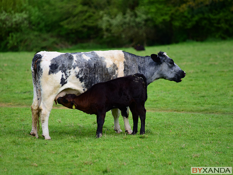 Cows - Other Subjects