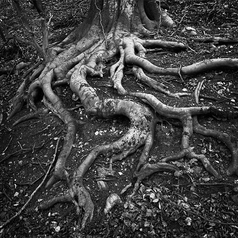 2163 - Beech Roots - The Cotswold Way - 2009