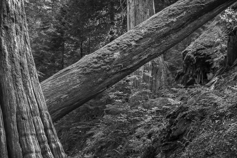 Fallen - Grove of the Patriarchs - USA - 2014 - California, Oregon, Washington