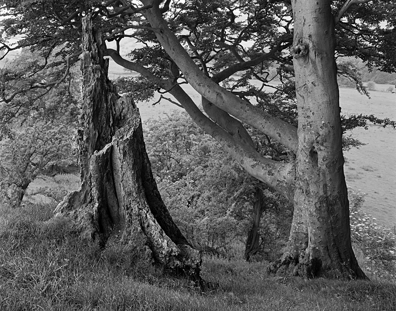 2150 - Beech  Beech Stump - The Cotswold Way - 2009