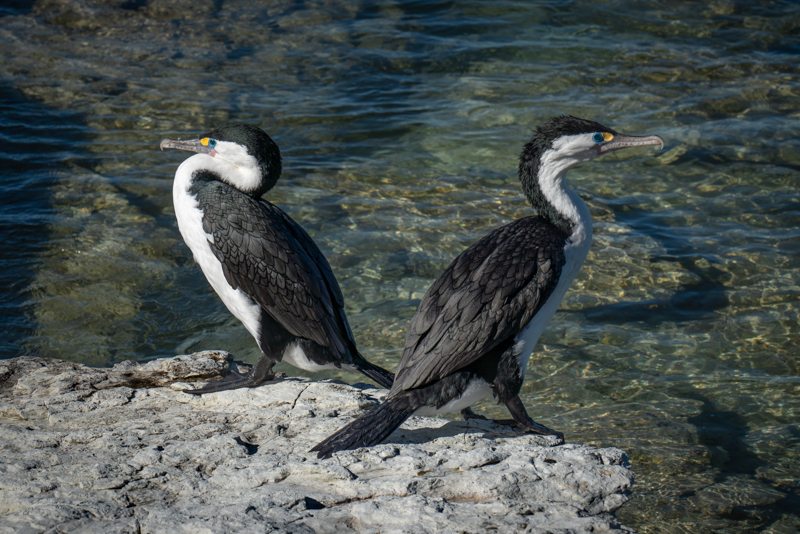 Pied Shags - New Zealand's South Island - 2018