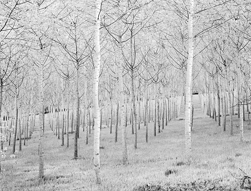 0536 - Birch Plantation - Trees & Plants