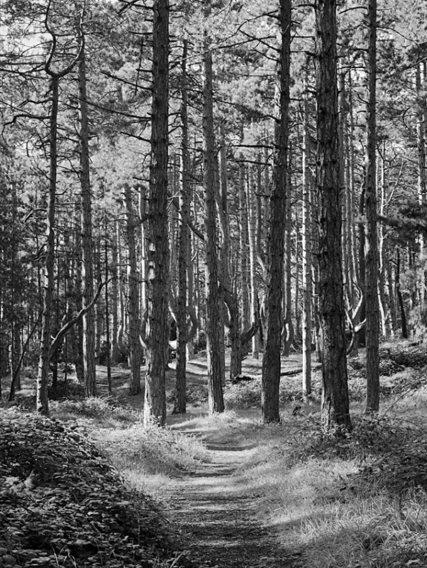 1551 - Corsican Pines  Path 1 - Images from England