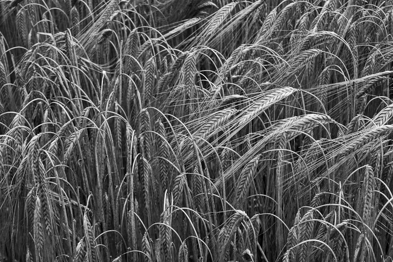 Bent Wheat Ears - Worcester Birmingham Canal