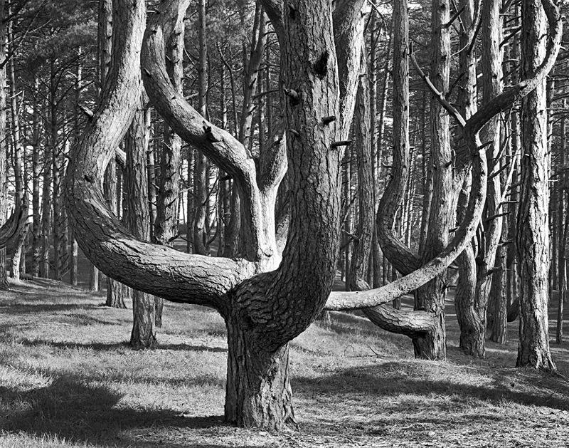 0072 - Tulip Pine - Trees & Plants