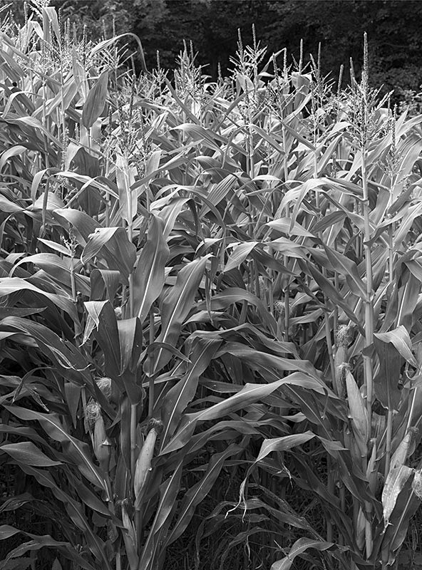 2210 - Wortley Hill Maize - The Cotswold Way - 2009