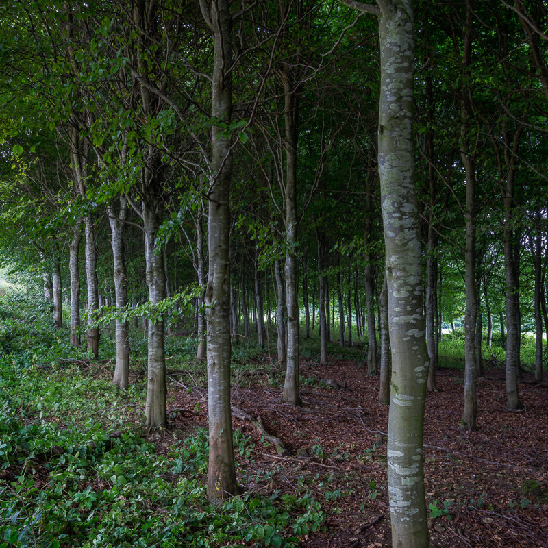 Day 39 - Beech Plantation - On Bredon Hill - 2016