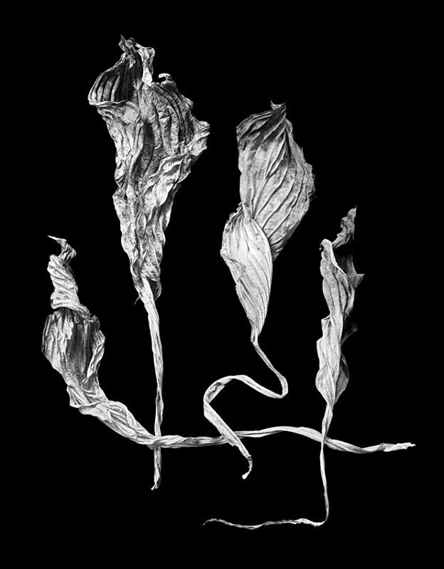 1187 - Four Dried Hosta Leaves 2 - Trees & Plants