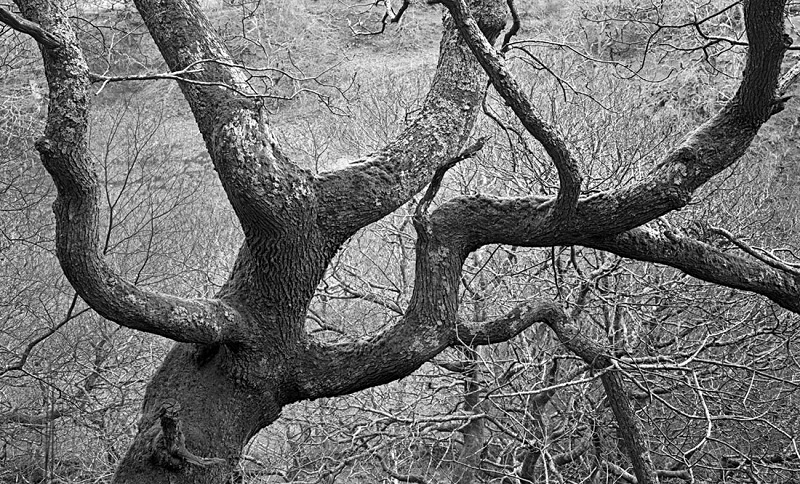 1995 - Sessile Oak - Images from Wales