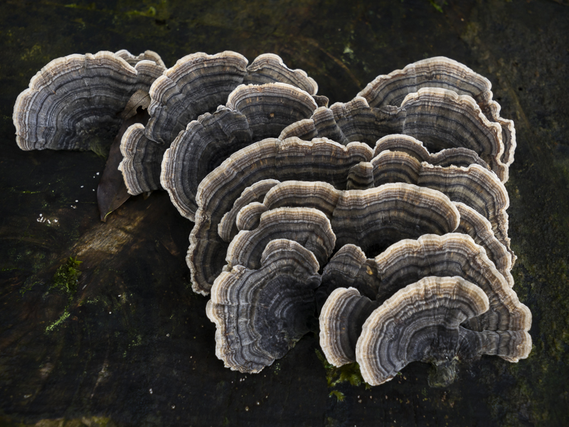 Bracket Fungus - English Lake District
