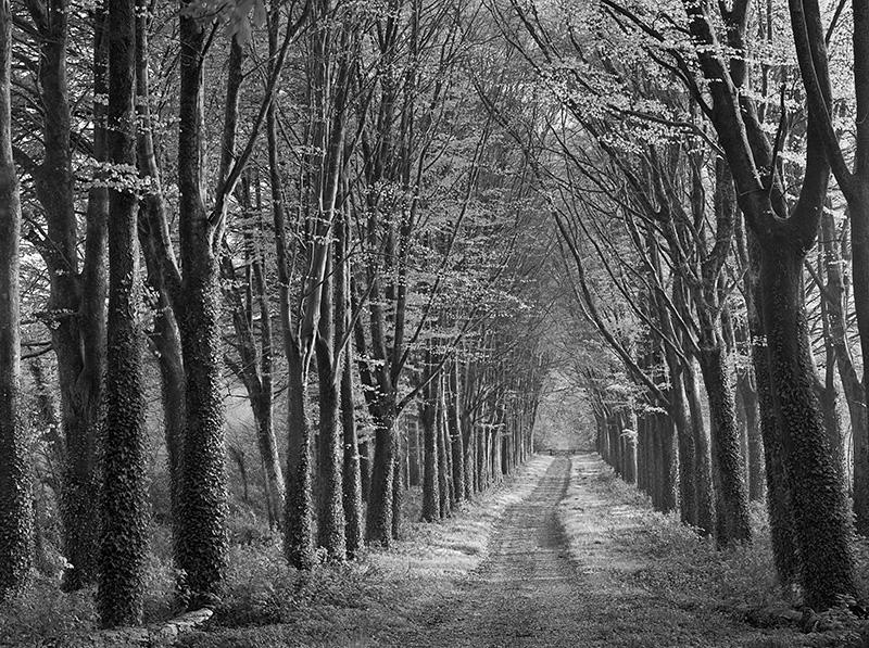 2454 - Beech Avenue - Brittany - Trees & Plants