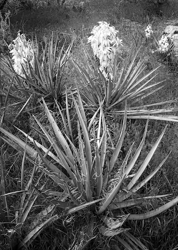 0394 - Agaves - Trees & Plants