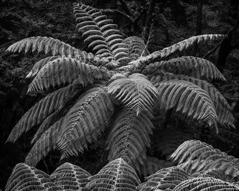 Tree Ferns - New Zealand's South Island - 2018