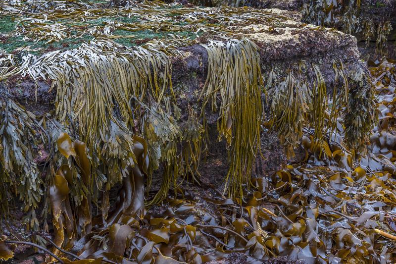 Hungover Seaweed - Isle of Skye - 2017