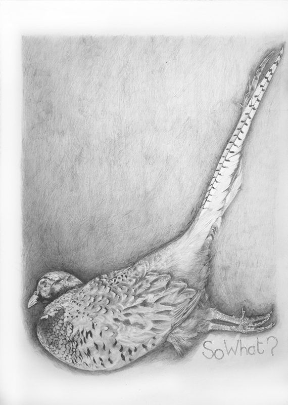 Dead Pheasant - So What? - Bird drawings