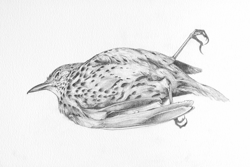 thrush Detail copy - Bird drawings