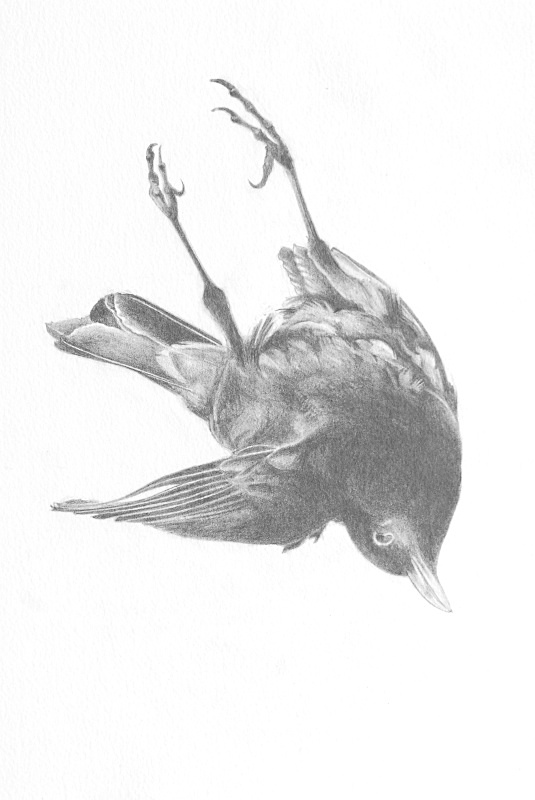 blackbird detail - Bird drawings