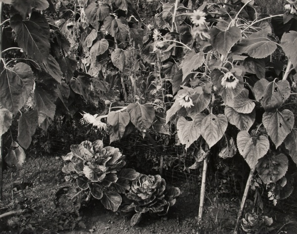 Sunflowers and Cabbages, Pennsylvania, 1986 - The Garden Series