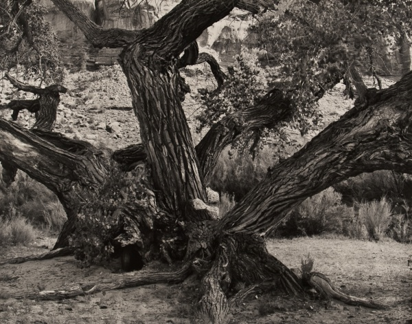 Cottonwood Trees, Utah, #1, 1989 - Landscapes