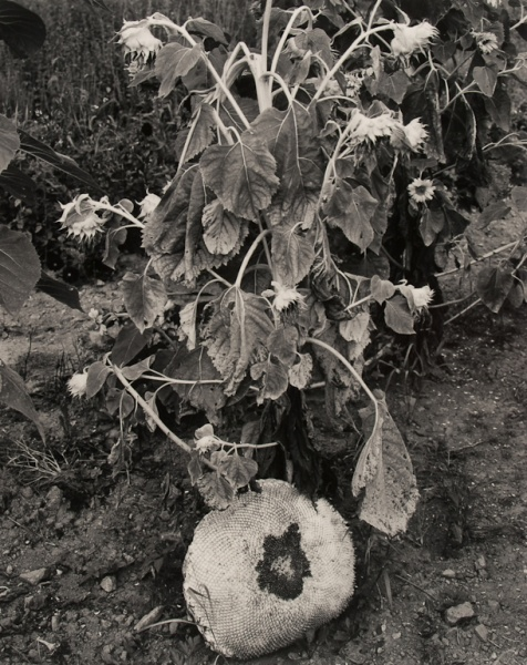Sunflowers, 1987 - The Garden Series