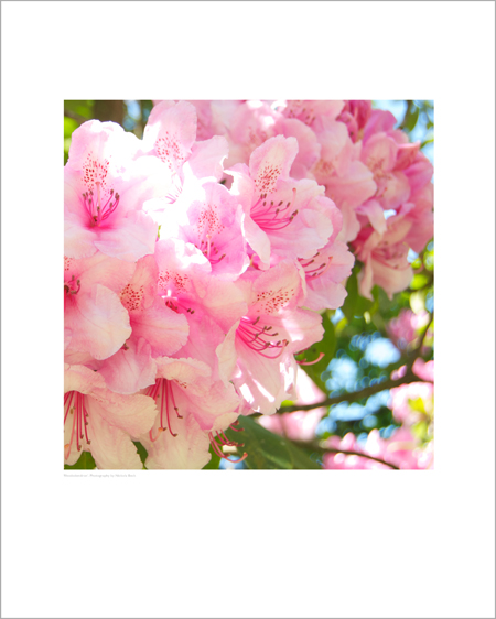 Pink Rhododendron Print