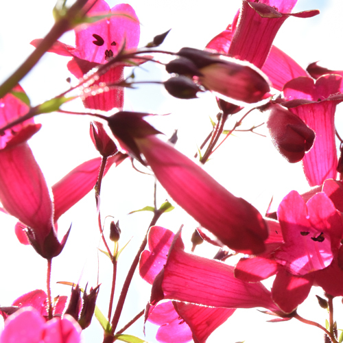Penstemon Abstract Flower Print by Nickola Beck Flower Photography