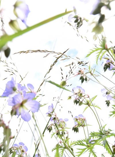 Wild Geranium Limited Edition Print by Nickola Beck Flower Photography