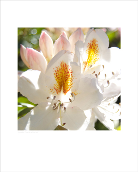 White Rhododendron - Open Edition Prints