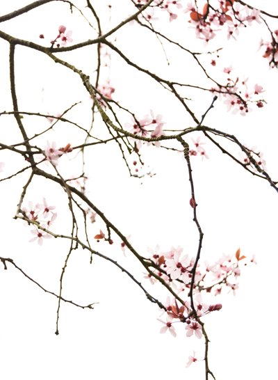Twigs of Cherry Blossom - Spring