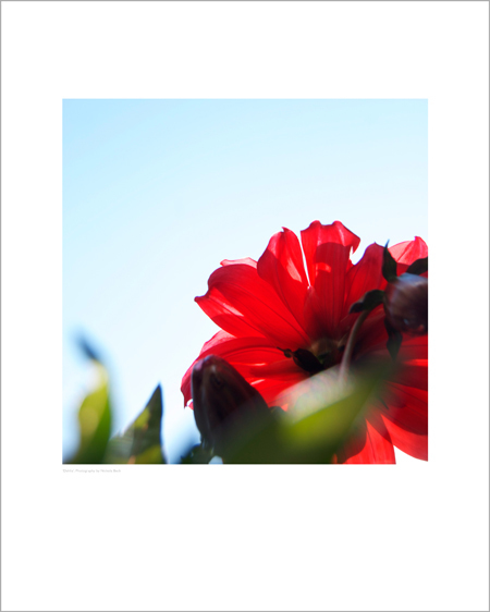 Red Dahlia - Open Edition Prints