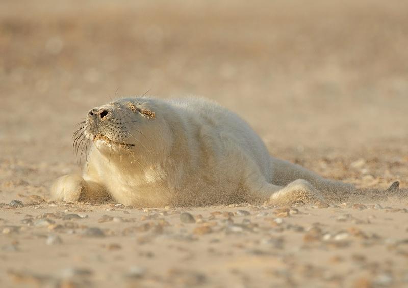 27 - Grey Seal