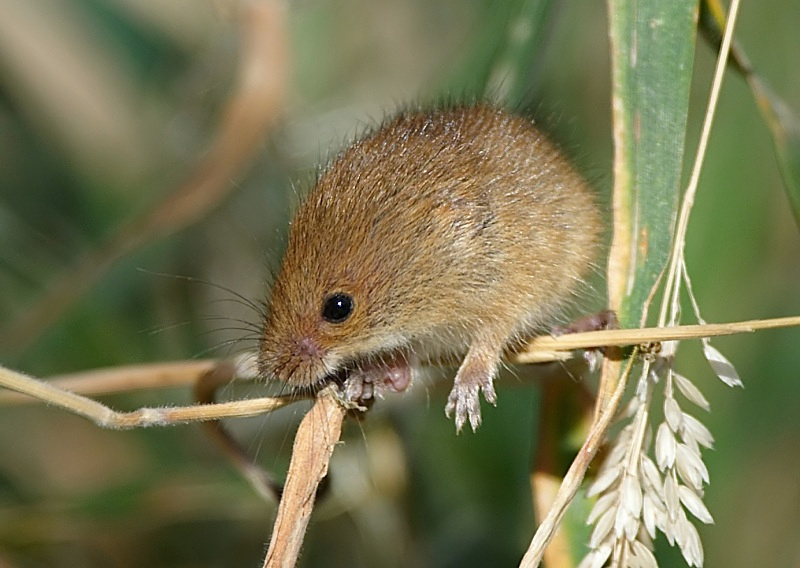 10 - Harvest Mouse