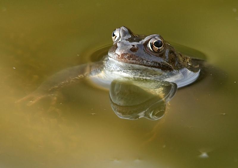 16 - Common Frog