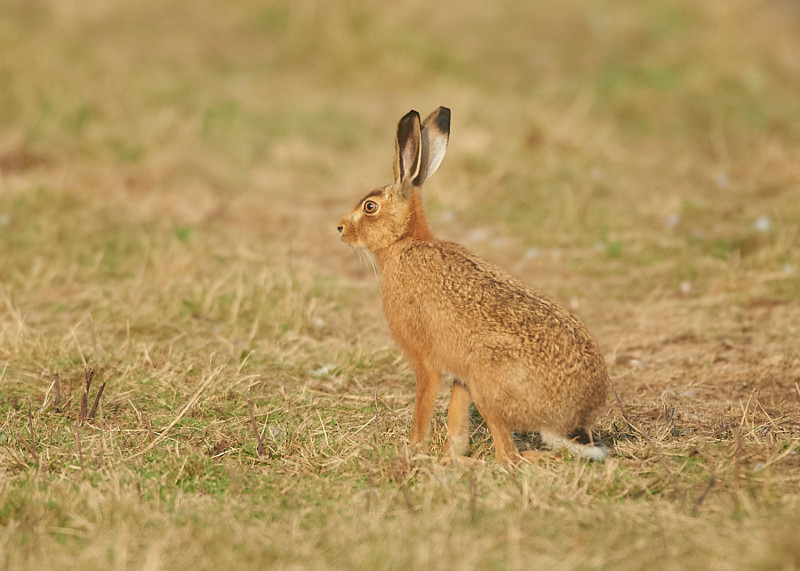 5 - Brown Hare