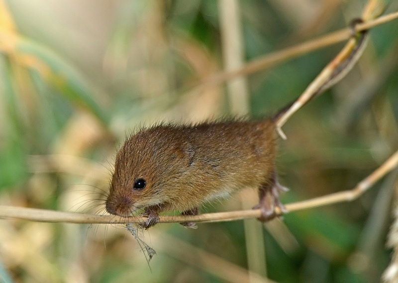 12 - Harvest Mouse