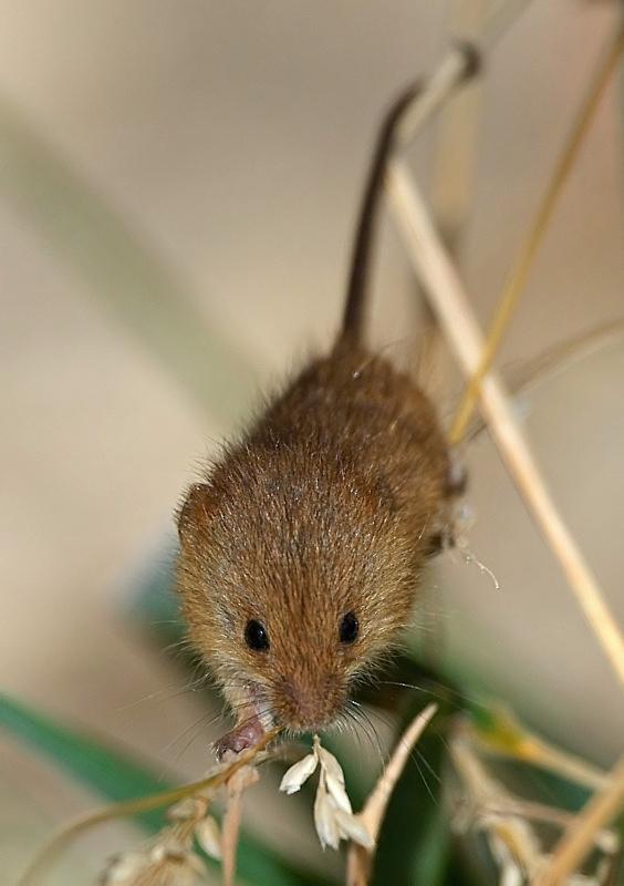 5 - Harvest Mouse