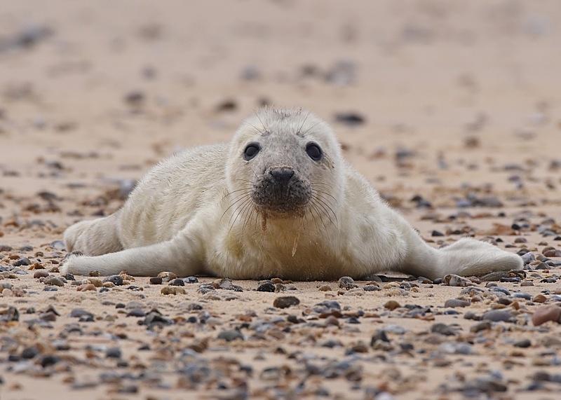 3 - Grey Seal